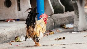 Rooster is looking something to eat. In the afternoon because he is hungry Stock Images