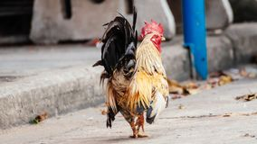 Rooster is looking something to eat. In the afternoon because he is hungry Stock Photos