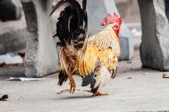 Rooster is looking something to eat. In the afternoon because he is hungry Royalty Free Stock Photo