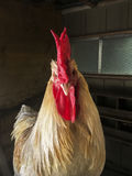 Rooster making eye contact. Stock Image