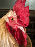 Rooster making eye contact. Royalty Free Stock Photography