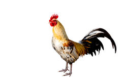 Rooster Male Chicken isolate white background with clipping pa Royalty Free Stock Image