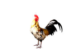 Rooster Male Chicken isolate white background with clipping pa Stock Photography