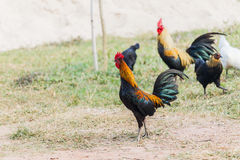 Rooster Male Chicken on a nature background. Royalty Free Stock Photo