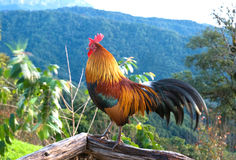 Rooster in morning time Royalty Free Stock Photos
