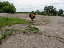 Rooster of the Naked Neck  breed against the background of the countryside Royalty Free Stock Image