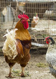 Rooster near cage Royalty Free Stock Photography