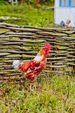 Rooster near a wooden fence in village Royalty Free Stock Photo
