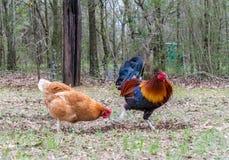 Rooster och hönor Royaltyfria Bilder