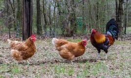 Rooster och hönor Arkivfoton