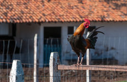 Rooster On Fence Stock Images