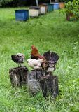 Rooster On Trunk Royalty Free Stock Photo