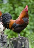 Rooster On Trunk Stock Photography