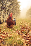 Rooster outdoors. Rooster in it's natural enviroment outdoors Royalty Free Stock Photos