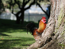 Rooster peeking out from a tree Stock Photo