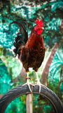 Rooster Perched on Tire Stock Images