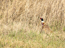 Rooster Pheasant. A rooster pheasant camouflages himself in tall grass Royalty Free Stock Image
