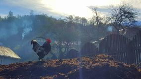 Rooster on pile of manure Royalty Free Stock Images