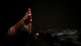 Rooster and Polite Hen. Night rooster hen sleeping animals like a couple leadership leader obey obedient respect couple pair royalty free stock photo