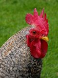 A Rooster Portrait Stock Photography
