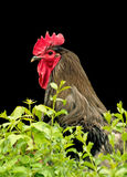 Rooster portrait Royalty Free Stock Images