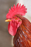 Rooster portrait Stock Photography