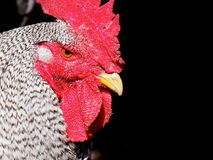 Rooster Portrait Royalty Free Stock Photography