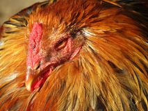 Rooster. Portrait of a brouwn rooster Royalty Free Stock Photo