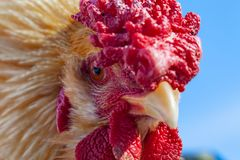 A rooster portrait close up Stock Photo