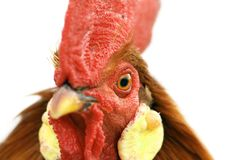 Rooster portrait with detail on the eye Stock Images