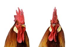 Rooster Portrait Isolated On White Background Royalty Free Stock Photos