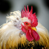Rooster Portrait Royalty Free Stock Image