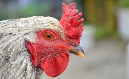 Rooster, portrait Royalty Free Stock Image