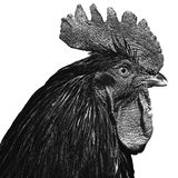 Rooster Portrait on white background. BW detailed image of rooster on white background Stock Photography