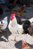 Rooster in the poultry yard. Royalty Free Stock Images