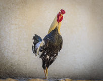 Rooster profile Royalty Free Stock Photos