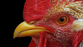 Rooster Stock Image