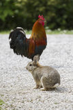 Rooster and rabbit in the farm Stock Photos