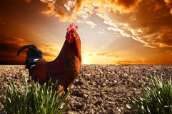 Rooster. Red rooster is on the plowed field; against a bright red sunset Stock Photos