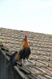 Rooster on Rooftop. Rooster stands on a shingled rooftop with its tail feathers hanging over the side. Vertical shot Royalty Free Stock Photos