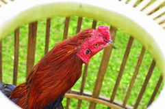 Rooster's head Royalty Free Stock Photo