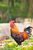 Rooster Series 4 royalty free stock photos