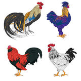 Rooster series Stock Image
