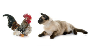Rooster and siamese cat Stock Images