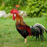 Rooster singing - cock on a grass Stock Image