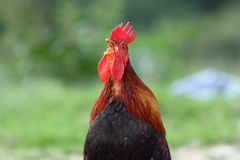Rooster singing in the morning Royalty Free Stock Photos