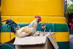 Rooster Sitting on Cardboard Box Royalty Free Stock Image
