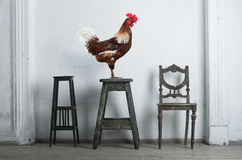 Rooster sitting on a chair Stock Images