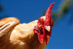 Rooster in the Sky Royalty Free Stock Photos