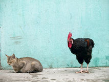 Rooster sneaking up on a sleeping cat. A black rooster sneaking up on a sleeping grey cat over a grungy looking background Stock Images